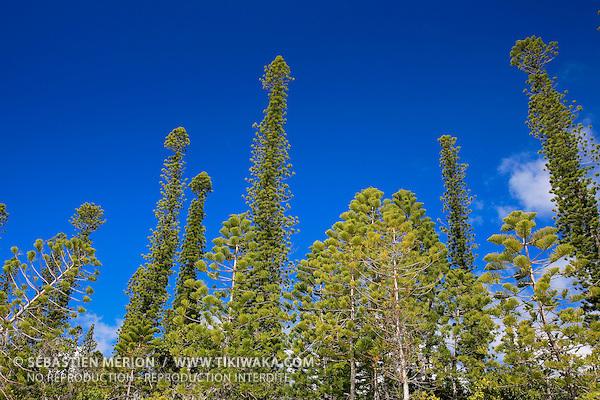 Forêt de pins colonnaires (araucaria columnaris), Ile des Pins, Nouvelle-Calédonie