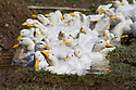 white ducks on farm raised for meat and eggs