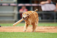 New Hampshire Fisher Cats Ollie the Bat Dog retrieves a bat during a game against the Reading Fightin Phils on May 30, 2016 at Northeast Delta Dental Stadium in Manchester, New Hampshire.  New Hampshire defeated Reading 9-1.  (Mike Janes/Four Seam Images)