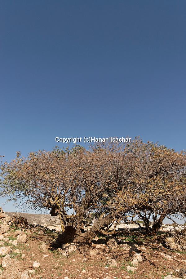 Samaria, Terebinth tree (Pistacia Palaestina) in Yanun