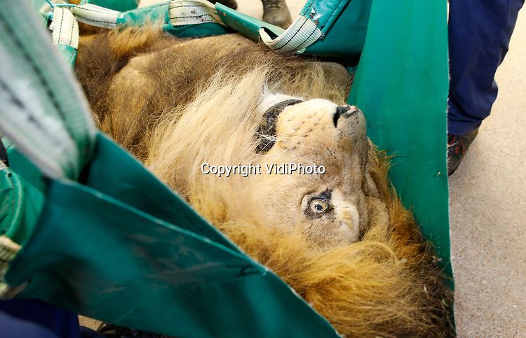 Foto: VidiPhoto<br /> <br /> ARNHEM - Voor de 12-jarige mannetjes leeuw Thor van Burgers' Zoo in Arnhem zit het werk er op. Hij heeft voor voldoende nageslacht gezorgd. Donderdag ging hij onder het mes voor een sterilisatie. Dat betekent ook dat er voorlopig in het Arnhemse dierenpark geen leeuwenwelpen meer worden geboren. Vorig jaar waren dat er nog vijf. De leeuwengroep is nu met acht leeuwen compleet. Burgers' is een succesvol fokker met leeuwen en wereldwijd toonaangevend. Omdat het leefgebied voor wild steeds kleiner wordt, is het fokken van wilde dieren in dierentuinen voor behoud van de soort steeds belangrijker geworden.