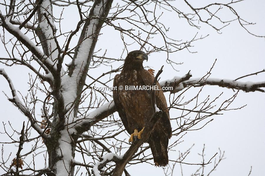 00370-014.15 Bald Eagle (DIGITAL) immature bird in tree during snow fall.  Raptor, bird of prey, predator, survival.  H3F1