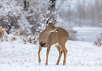 White-tailed doe in a pretty winter landscape.