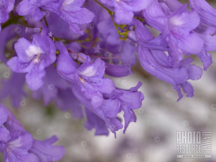 A close-up of beautiful purple flowers in full bloom on a Jacaranda tree, Big Island.