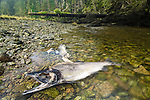 Corpses of Pink Salmon (Oncorhynchus gorbuscha) discarded by Spirit Bears and Black Bears and left in forest on Princess Royal Island, great Bear Rainforest, British Columbia, Canada.
