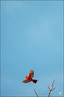 A Red Cardinal bird in flight.