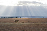 A lioness and her cubs walk across the plains of Maasai Mara, Kenya.