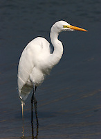 Great egret adult non-breeding standing in water