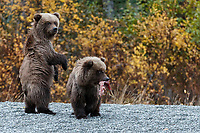 Alaska brown bear sow and cubs standing on shore of Crescent Lake in Lake Clark National Park. Alaska<br /> <br /> Photo by Jeff Schultz/  (C) 2020  ALL RIGHTS RESERVED