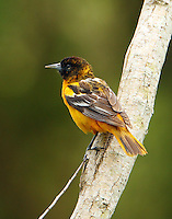 Baltimore oriole male molting to breeding plumage at Paradise Pond in April