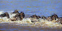 Wildebeest herd swimming in the Mara River during the great migration between Kenya and Tanzania, in Masai Mara national park, Africa