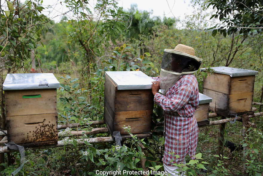 A bee keeper attends to her bees.  She lives in the province of Monte Plata region in the Dominican Republic.  Her training given by organization Consorcio Ambiental Dominicano located in Santo Domingo in the Dominican Republic.<br /> <br /> www.cad.org.do