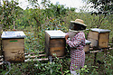 A bee keeper attends to her bees.  She lives in the province of Monte Plata region in the Dominican Republic.  Her training given by organization Consorcio Ambiental Dominicano located in Santo Domingo in the Dominican Republic.<br />