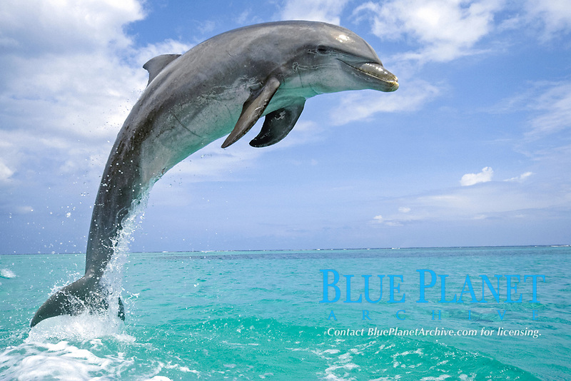 Bottle-nosed Dolphin (Tursiops truncatus), adult leaping from water, Roatan, Honduras, Central America, America, Central America