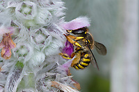 Garten-Wollbiene, Große Wollbiene, Gartenwollbiene, Europäische Wollbiene, Weibchen an Woll-Ziest, Wollziest (Stachys byzantina), Anthidium manicatum, European wool carder bee, wool carder bee, Continental Wool-carder Bee, female, abeille cotonnière