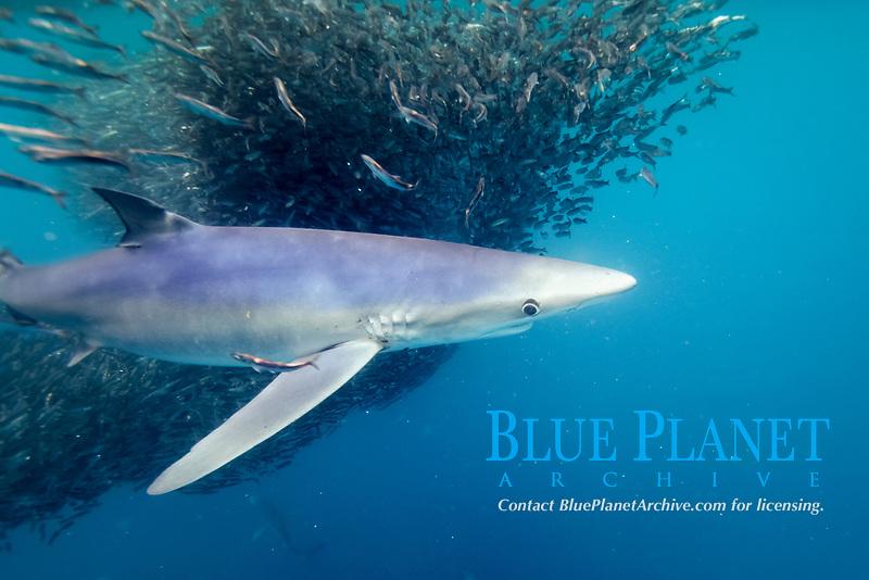 blue shark, Prionace glauca, feeding on baitball of anchovies, Cape Point, South Africa, Atlantic Ocean