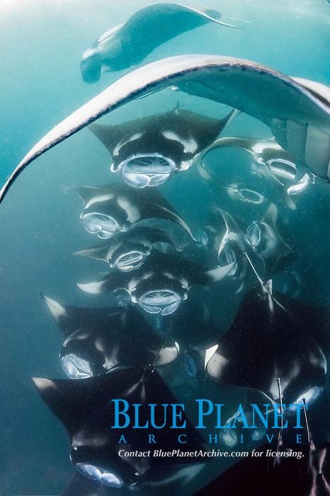 reef manta rays, Mobula alfredi, cooperatively feeding on plankton en masse, Hanifaru Bay, Baa Atoll, Maldives, Indian Ocean (dm)
