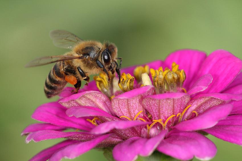 Honey Bee & pink Zinnia garden flower.