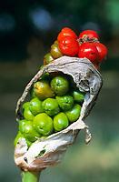 Italienischer Aronstab, Fruchtstand, Früchte, Beeren, Arum italicum, Italian arum, Italian lords-and-ladies,  l'Arum d'Italie, Gouet d'Italie