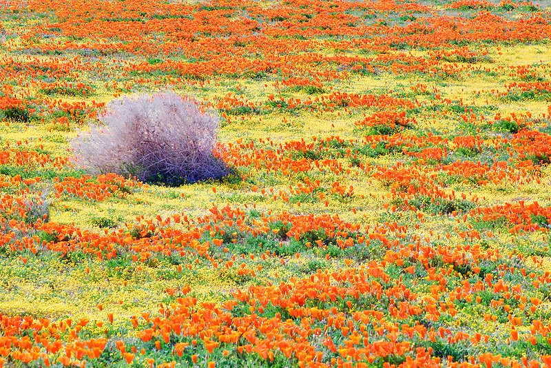 Blooming poppies in Antelope Valley Poppy Preserve, California