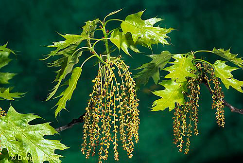TT18-031c  Oak - flowers, young leaves - Quercus spp.