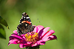 The Red Admiral (Vanessa atalanta) butterfly | Admiral (Vanessa atalanta) Schmetterling