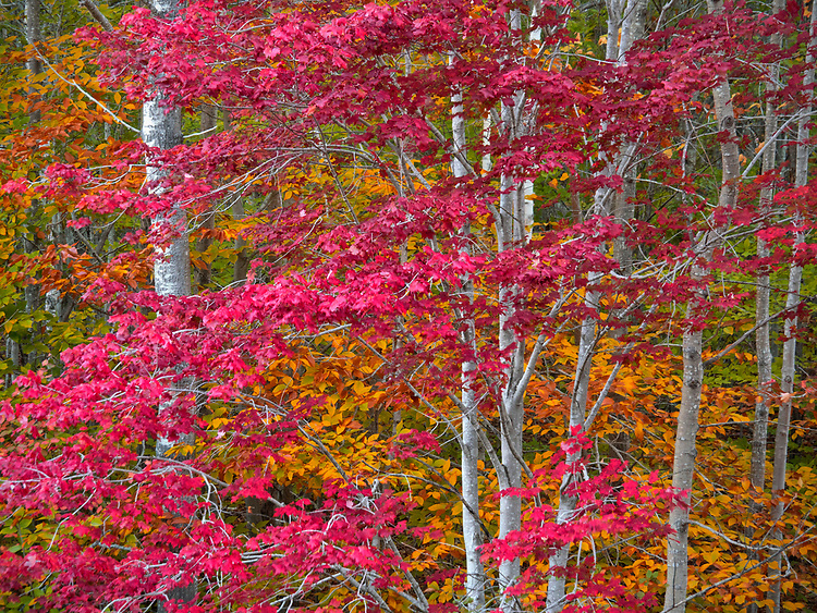 Deciduous trees donning vibrant fall colors in Acadia National Park, Maine