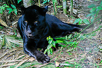 jaguar, Panthera onca (c), black or melanistic colormorph, resting, Belize, Caribbean, Atlantic Zoo, Belize, Caribbean, Atlantic, Central America, Caribbean, Atlantic