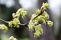 Small yellow flowers appear before new-season leaves, Hungarian or Italian maple (Acer obtusatum), early March.