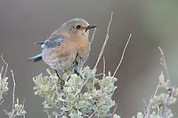 Adult female Mountain Bluebird (Sialia currucoides) perched on sage. Douglas County, Washington. April.