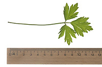 Kriechender Hahnenfuß, Hahnenfuss, Ranunculus repens, Creeping Buttercup, La renoncule rampante. Blatt, Blätter, leaf, leaves
