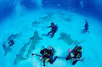 Lemon Sharks and Underwater Photographer, Negaprion brevirostris, Bahamas, Grand Bahama Island, Caribbean, Atlantic Ocean