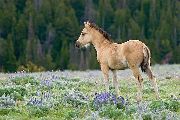 Wild Horse or feral horse (Equus ferus caballus) colt among wildflowers.  Western U.S., summer.