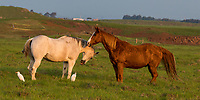 Two horses enjoy each other's company in a green pasture in Waimea, Big Island of Hawai'i; two white cattle egrets join in the scene.