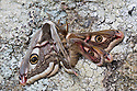 Mating Emperor Moths {Saturnia pavonia} Peak District National Park, UK. May.