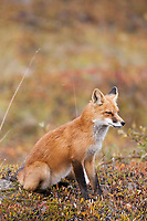 Red fox sits in the autumn tundra of Denali National Park, Interior, Alaska.