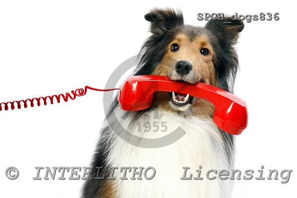 Xavier, ANIMALS, dogs, photos, SPCHDOGS836,#A# Hunde, perros