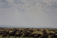 Wildebeest at Grumeti Reserves
