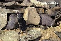 MU40-250z  Water Shrew - echo locating - Sorex palustris