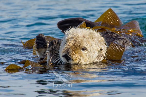 Sea Otter (Enhydra lutris) resting in kelp. California coast.