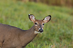 White-tailed doe with a slit in her ear