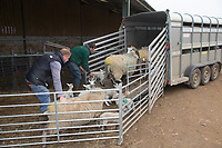 2-3-2021 Loading Ewes and lambs up to take out to grass<br />  ©Tim Scrivener Photographer 07850 303986<br />      ....Covering Agriculture In The UK....