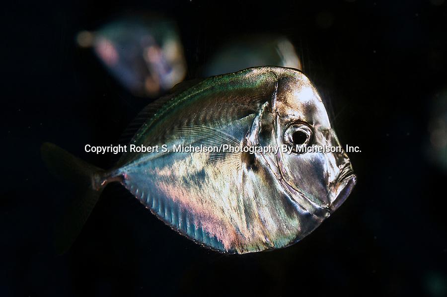 Atlantic moonfish swimming right