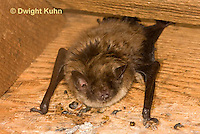 MA20-573z  Little Brown Bats, Myotis lucifugus