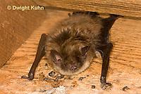 MA20-573z  Little Brown Bats, Myotis lucifugus