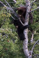 American black bear(Ursus americanus) cubs are very curious, full of energy and superb tree climbers. They are a lot of fun to watch when they are active, but can also sleep draped over a limb for hours.