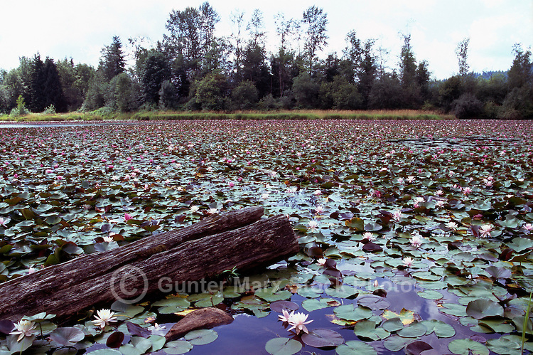 Lily Pads on a Lake in the Fraser Valley, BC, British Columbia, Canada
