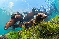 California sea lion, Zalophus californianus, Cedros Island, or Isla de Cedros, Baja California, Mexico, Pacific Ocean