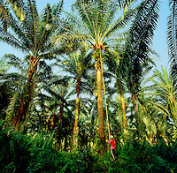 Harvesting oil palm fruit, elaeis guineensis, from tall old palms. Sabah, Borneo. Malaysia..