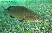 0116-1201  Black Grouper (Rockfish) in the Caribbean Ocean Above Seagrass, Mycteroperca bonaci  © David Kuhn/Dwight Kuhn Photography